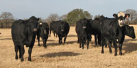 109 Angus & Angus Plus Cows w/ 10+ Calves... N. Central TX