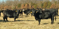 40 Angus & BWF Cows... Southwest MO (3) (3)