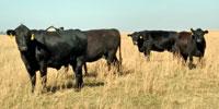 40 Angus & BWF Cows... Southwest MO (2) (1)