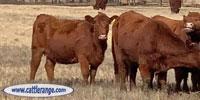 57 Red Angus Bred Heifers... E. Central OK