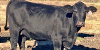 """6 Brangus & """"Super Baldy"""" Cows... Southeast TX"""