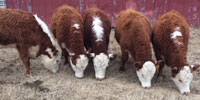 5 Reg. Polled Hereford Rep. Heifers... Central AR