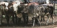 14 F1 Braford Rep. Heifers... East TX
