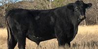 2 Reg. Angus Bulls... N. Central TX