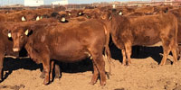 160 Red Angus Bred Heifers... TX Panhandle