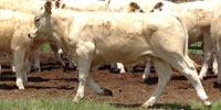 35 Charolais Rep. Heifers... Central TX ~ GF