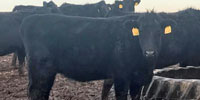 50 Angus Bred Heifers... Central MO (1)