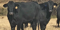 150 Angus Plus & Brangus 1st-Calf Heifers... North TX