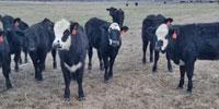 "20 Angus Cross ""BWF"" Rep. Heifers... Northeast MS"