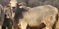 3 Reg. Brahman Bulls... East TX