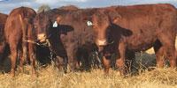 15 Reg. Devon Rep. Heifers... W. Central AR ~ GF