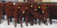 10 Red Angus Bred Heifers... W. Central CO