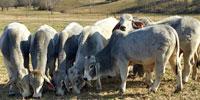 6 Brahman Bulls... W. Central AR