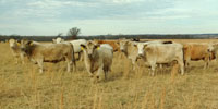 20 Charolais Cross Cows... Southwest MO (2)
