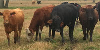 225 Crossbred Cows... Southeast TX