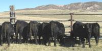 7 Reg. Irish Black Bulls... Southeast WY ~ FD