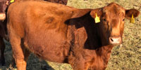 40 Red Angus & Red Angus Cross Cows... Southwest MO (2)