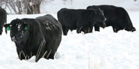 10 Irish Black Bulls... Southwest CO
