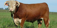 50 Reg. Horned Hereford Bulls... W. Central MO