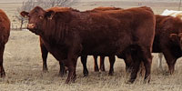 40 Red Angus 2nd-Calf Cows... E. Central NM