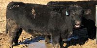 7 Reg. Angus Bulls... Western TN