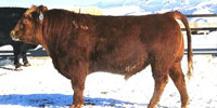 163 SimAngus Bulls for Lease... Central MT