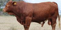 15 Reg. Beefmaster Bulls... South TX