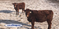 120 Red Angus Rep. Heifers... Southeast SD