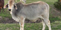 2 Brahman Bull Calves... Northeast TX