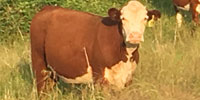 70 Hereford 2nd-Calf Cows... Northeast TX