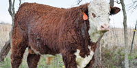 1 Reg. Polled Hereford Bull... Northeast TX (1)