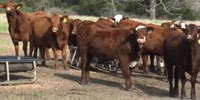 24 'Brazos Composite' Santa Gertrudis Cross Rep. Heifers... Southeast TX