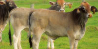 10 Brahman Cross Rep. Heifers... Central TX