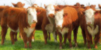 14 Hereford Rep. Heifers... Central TX