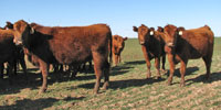 30 Red Angus Bred Heifers... TX South Plains