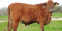 25 Beefmaster Rep. Heifers... Central TX