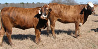 68 F1 Braford/Tigerstripe Bred Heifers... Northeast TX