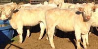 23 Reg. Charolais Rep. Heifers... Northern VA