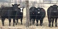 39 SimAngus Rep. Heifers... W. Central MO ~ PI-N