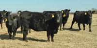 40 Angus & BWF Cows... Southwest MO (2) (1) (2)