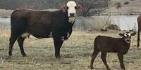 10 F1 Braford/Tigerstripe Cows w/ 8+ Calves... Central OK
