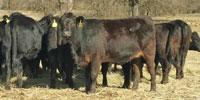 50 Angus & BWF Bred Heifers... Southwest MO (2)