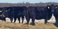 40 Angus & BWF Cows... Southwest MO (25)