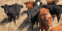 57 Angus & Red Angus Cows w/ 49+ Calves... N. Central TX