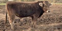 5 Reg. Braunvieh Bulls... Southeast TX