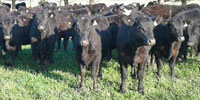 100 Angus Rep. Heifers... Central CA