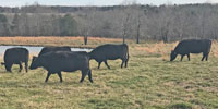 8 Angus Cows... Northeast AL