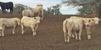 15 Charolais Bulls... Central TX