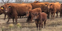 63 Red Angus Pairs... North TX