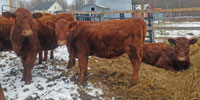 8 Reg. Red Angus Rep. Heifers... Northern MI